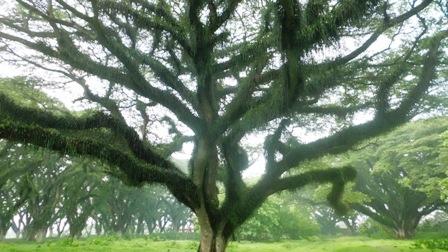 pohon Trembesi dekat rumah kelelawar
