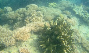 Trumbu karang masih kelihatan manis